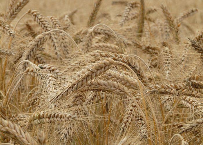 Первый опыт хлебопашества в Сургутском уезде